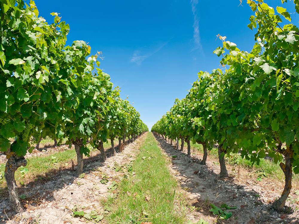 Виноградники острова Рé