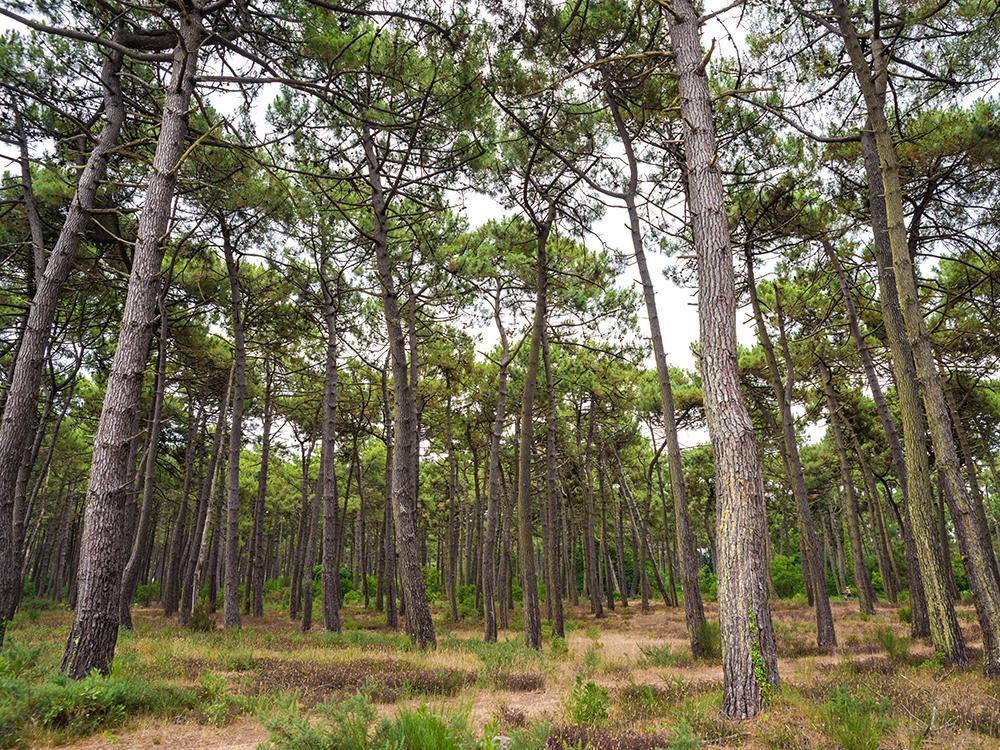 Сосновые леса атлантической Франции