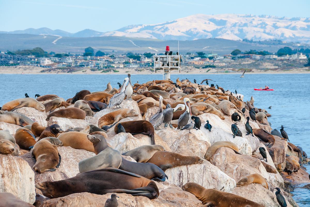 Лежбище морских львов в Монтерее