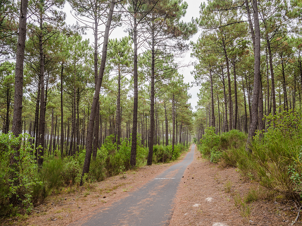 Сосновые леса Аквитании прекрасны...